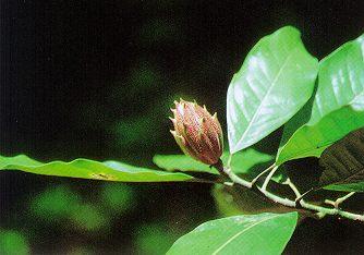 : ต้นจำปาป่า (ต้นจัมปกะ)