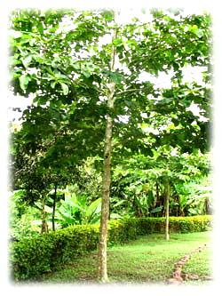 ต้นขานาง (ต้นสาลกัลยาณี)
